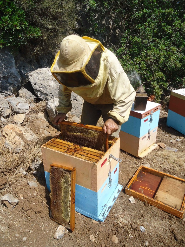 honey harvest from bee hive
